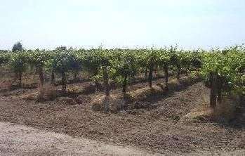 Another section of our vineyard