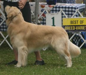 Jake winning 1st in Open Dog, Carmel, cA - his first AKC shows!