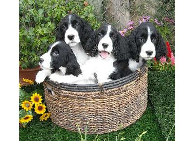 5 week old Springer puppies. A basketful of FUN!
